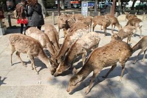 Bowing deers