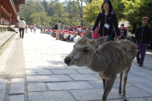Nara deer wandering around the temple