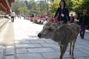 Nara deer wandering around the temple