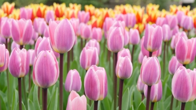 Love this tulips a lot